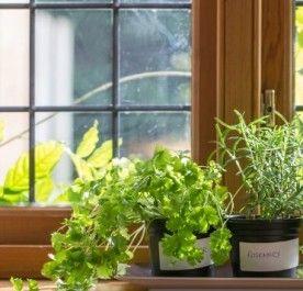Kminek zwyczajny -nasiona 2g, zioło poprawiające trawienie