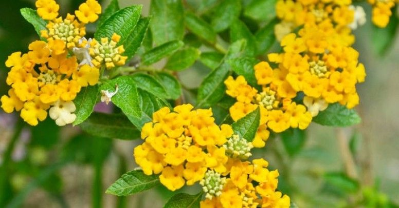 Werbena Roślina Na Balkon I Do Ogrodu Inspiracje I Porady