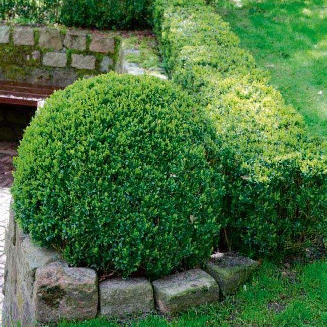 Bukszpan (Buxus) P10