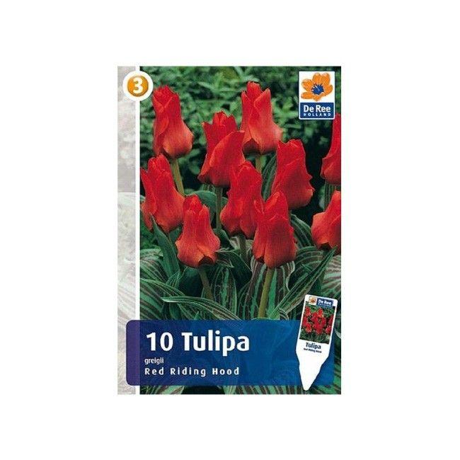 Cebule tulipan Red Riding Hood