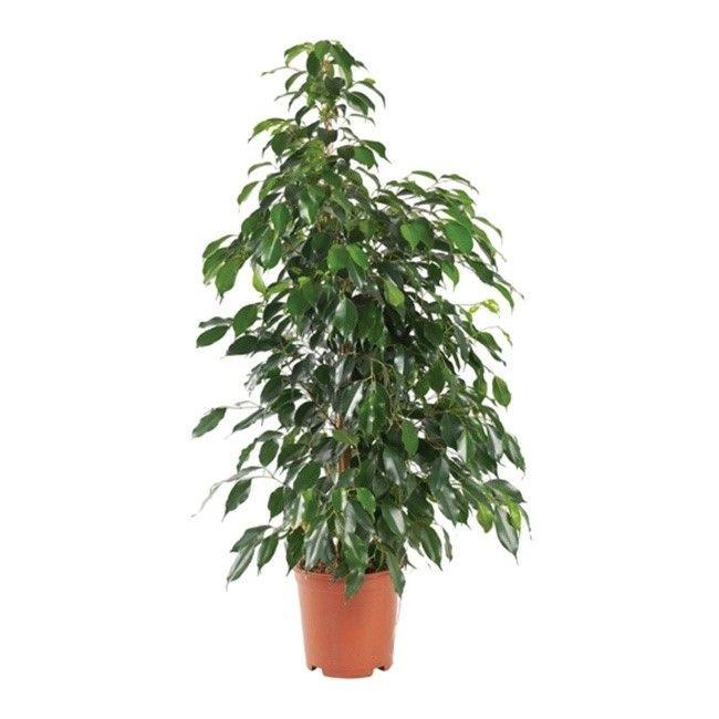 Ficus benjamina Danielle 90-100 cm D21