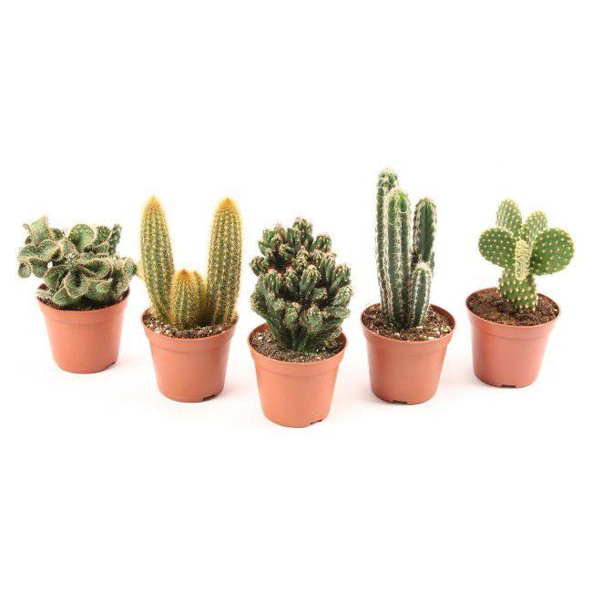 Kaktusy Mix Doniczka 8 Cm