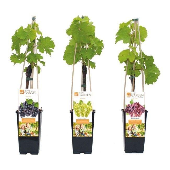 Winorośl In My Garden Gewurztraminer C2