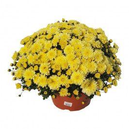 Chryzantema drobnokwiatowa miska 21 cm