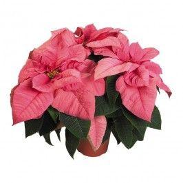 Kwitnące Rośliny Domowe Rośliny I Materiały Siewne Ogród