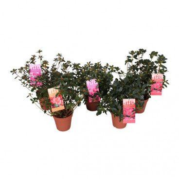 Azalea japonica mix doniczka 13 cm