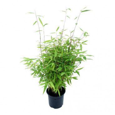 Bambus Verve 80-100 cm