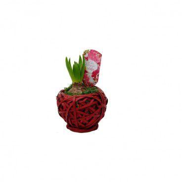 Hiacynt w czerwonej wiklinowej kuli 13 cm