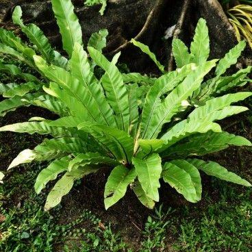 Paprocie Verve 25-30 cm