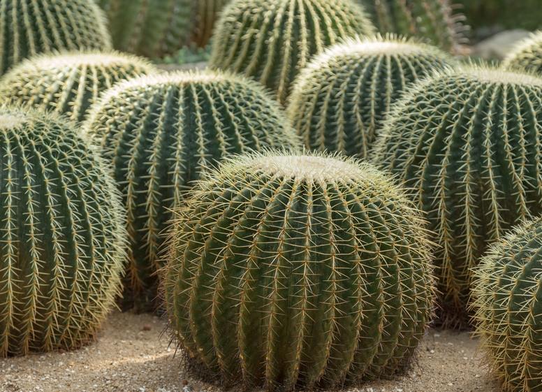 Echinokaktus Grusona Rośliny Ozdobne Encyklopedia Roślin