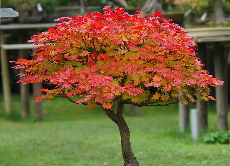 Bardzo dobra Klon - Rośliny ozdobne - Encyklopedia roślin - Inspiracje i porady SJ73
