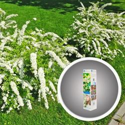 Tawula biała In My Garden Van Houttei