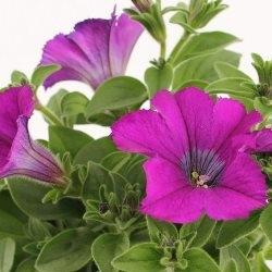 petunia verve mix