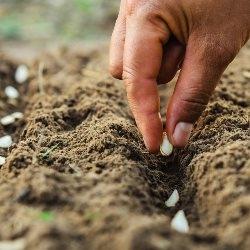 otoczkowanie nasion