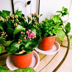 Rośliny doniczkowe kwitnące