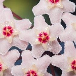 kwiat hoji