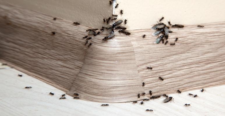 Jak Pozbyć Się Mrówek Z Domu Inspiracje I Porady