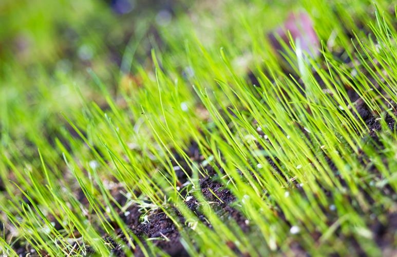 po jakim czasie kiełkuje trawa