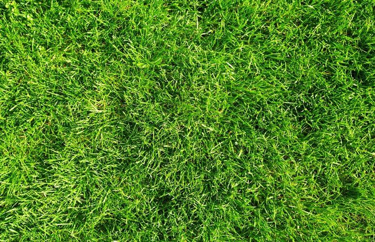 trawa odmiany