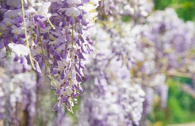 glicynia wisteria
