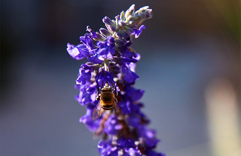 lawenda i pszczoła