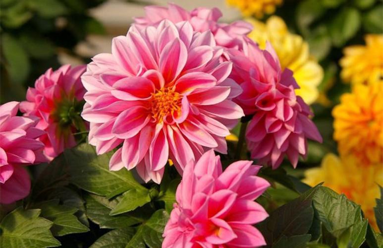Dalia Verve mix kolorów doniczka 10,5 cm wysokość 30 cm