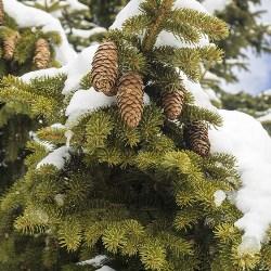 iglaki w okresie zimowym