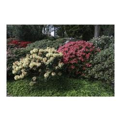 Rhododendron wielkokwiatowy Castorama
