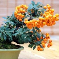 Miniatura drzewka owocowego