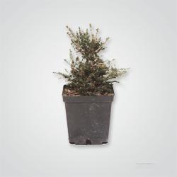 674320 Zwierk (Picea)mix 30 cm C 2