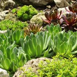 rośliny na skalniaku