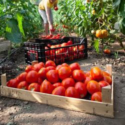 pomidory na przetwory