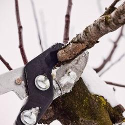 przycinanie drzew zimą