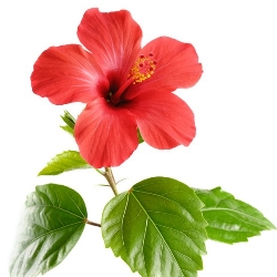 amarylis, znaczenie kwiatów