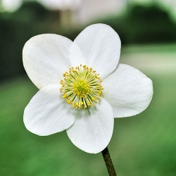 kwiat ciemiernika, jaskrowate