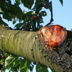 chora gałąź wiśni odcięta