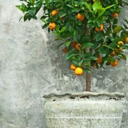 drzewko mandarynkowe