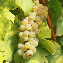 wino z ogrodu