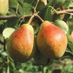 груша, фрукты из сада
