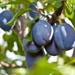 слива, фруктовое дерево в саду