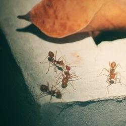 mrówki na murze