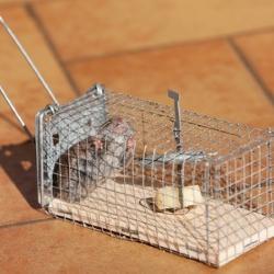mysz w pułapce