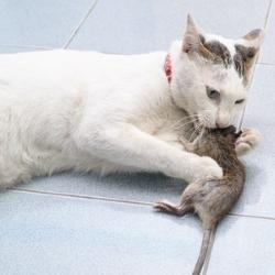 mysz złapana przez kota