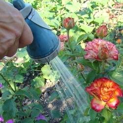 podlewanie róż
