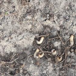 szkodniki glebowe