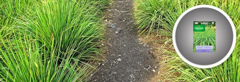 Nasiona trawa cytrynowa Palczatka Vilmorin