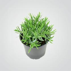 Lawenda bylinowa D14 25 cm