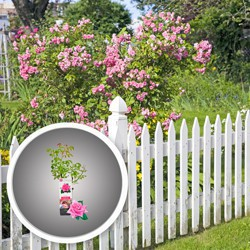 Róża In My Garden pnąca doniczka C 2