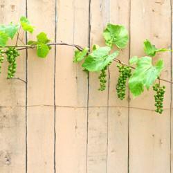 Winorośl w odmianach C2 70 cm