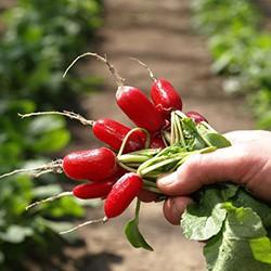 Nasiona rzodkiewka Esmeralda Vilmorin podłużna